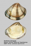 Iliochione subrugosa