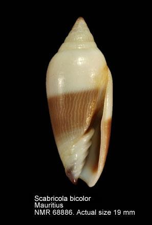 Scabricola bicolor