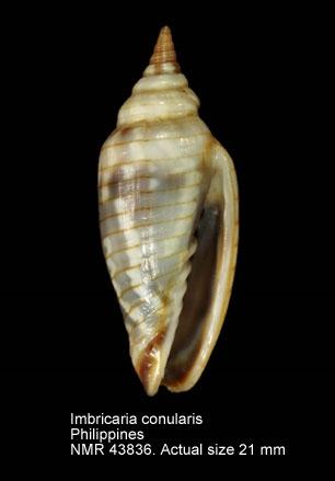 Imbricaria conularis