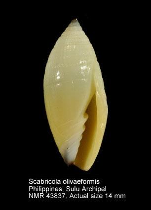 Scabricola olivaeformis