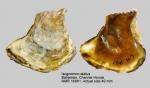 Isognomon alatus
