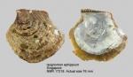 Isognomon ephippium