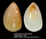 Laevicardium attenuatum
