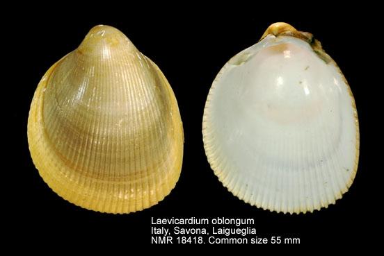 Laevicardium oblongum