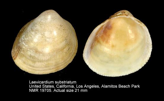 Laevicardium substriatum
