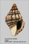 Leucozonia ocellata