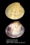 Leukoma granulata