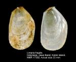 Limaria fragilis