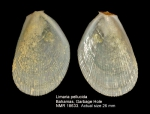 Limidae