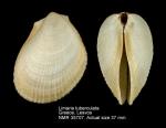 Limaria tuberculata