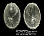 Limatula thalassae