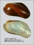 Lioberus agglutinans