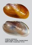 Lioberus castaneus