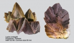 Ostreidae