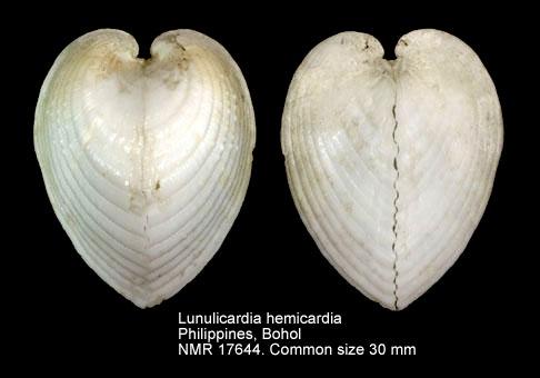 Lunulicardia hemicardium