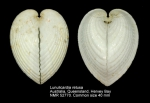 Lunulicardia retusa