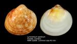Lyrocardium aeolicum