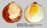 Lyrocardium lyratum