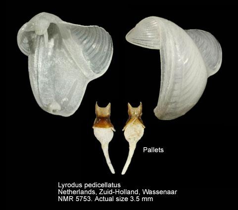 Lyrodus pedicellatus
