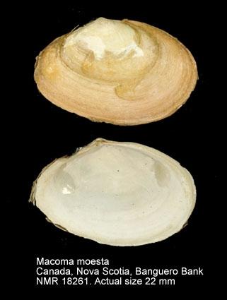 Macoma moesta