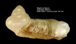 Magilus antiquus