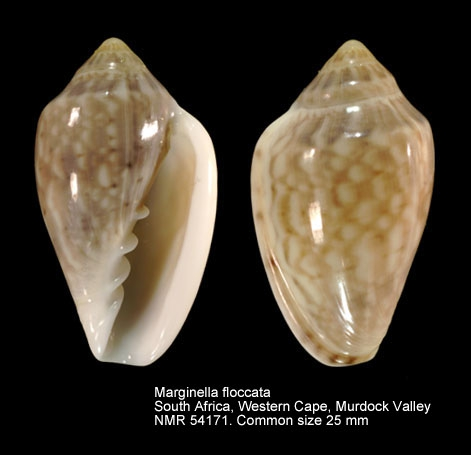 Marginella floccata
