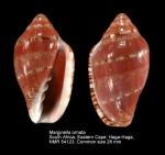 Marginella ornata