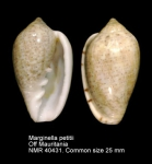 Marginella petitii