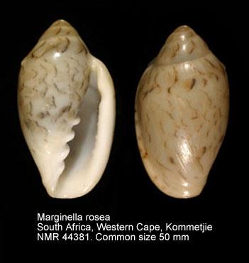Marginella rosea