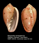 Marginella senegalensis