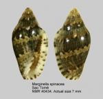 Marginella spinacia