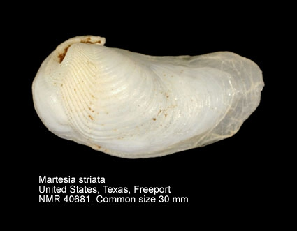 Martesia striata