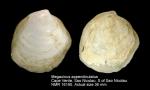 Megaxinus appendiculatus