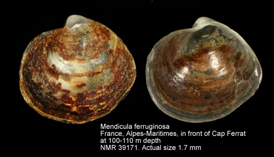 Mendicula ferruginosa