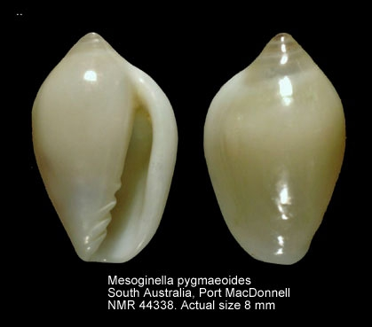 Mesoginella pygmaeoides