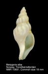 Metzgeria alba