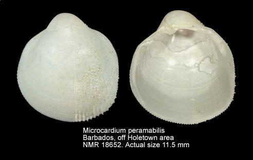 Microcardium peramabile