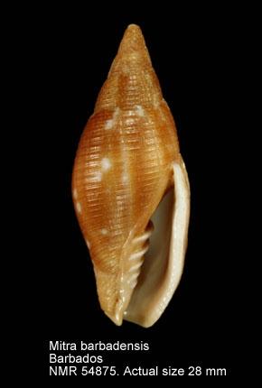 Mitra barbadensis