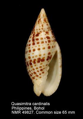 Quasimitra cardinalis