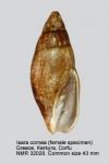 Mitra cornea