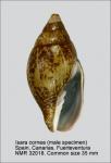 Mitridae