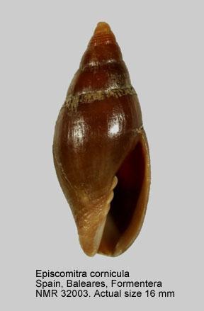 Episcomitra cornicula