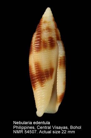 Nebularia edentula