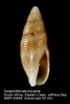 Mitra latruncularia