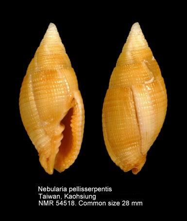 Nebularia pellisserpentis