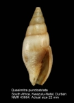 Mitra punctostriata