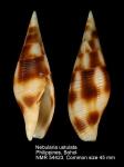 Nebularia ustulata