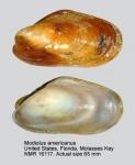 Modiolus americanus