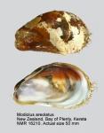Modiolus areolatus