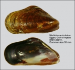 Modiolus auriculatus